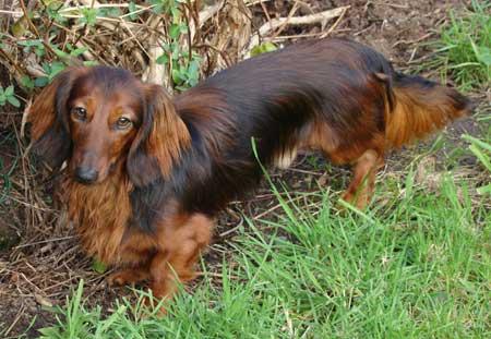 Chiot chiots teckel teckels poil long poils longs dur for A poil a la maison